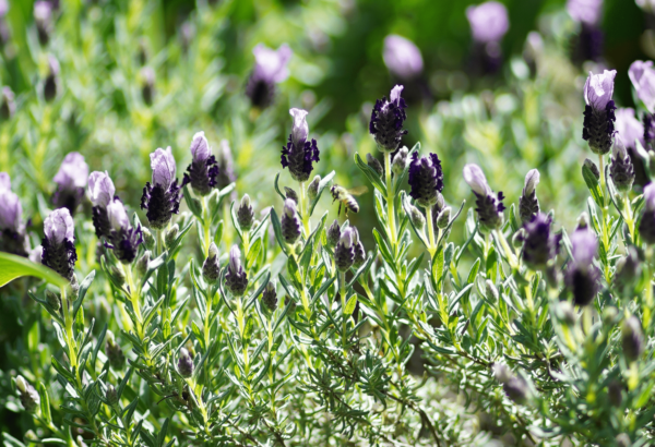 Spanish lavender bush with bee