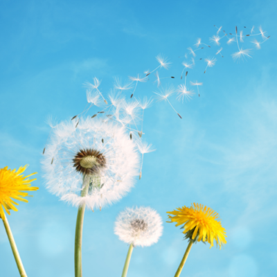 Dandelion blowing in the wind over a bright blue spring summer sky