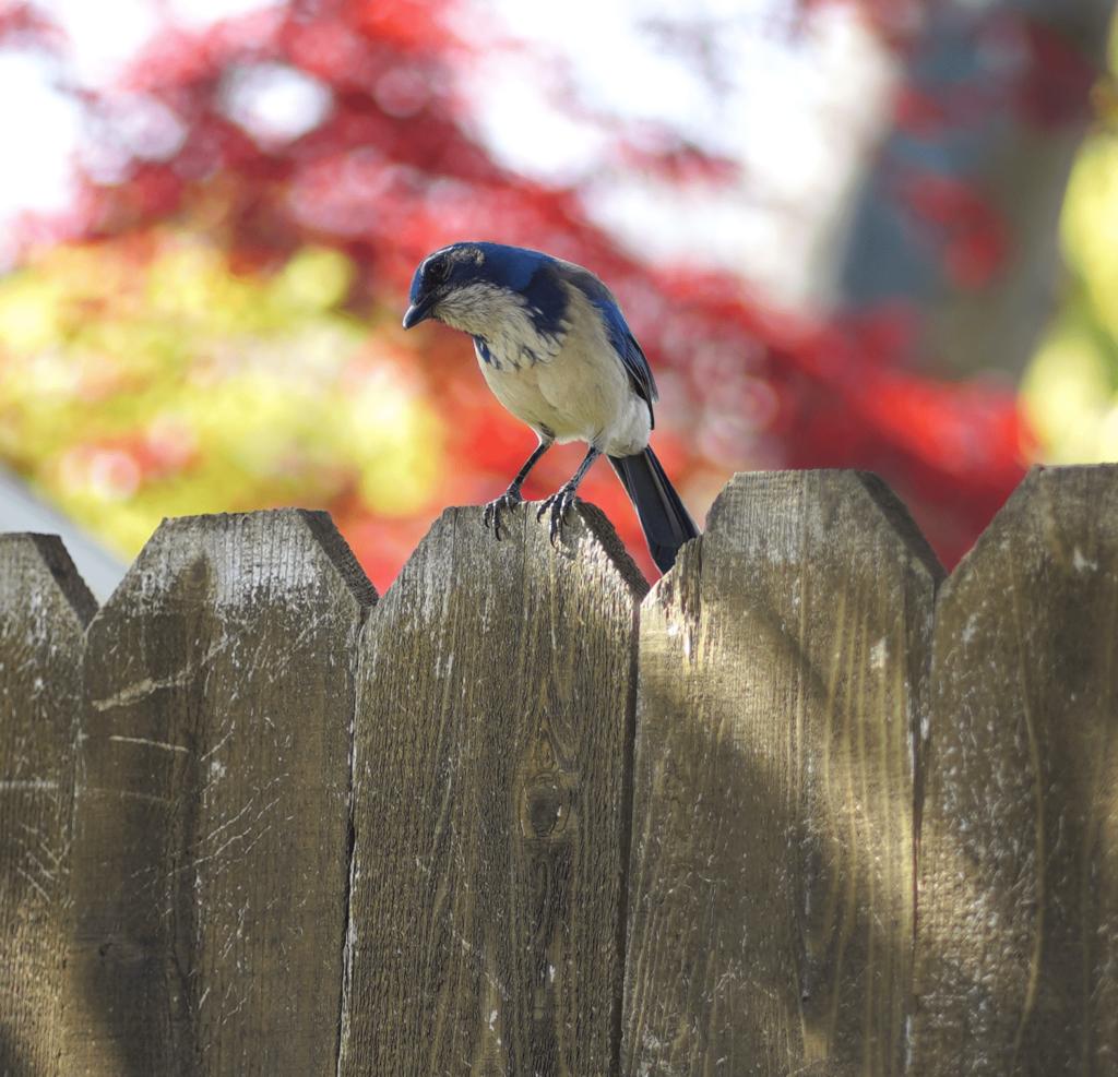 Blue bird on fence